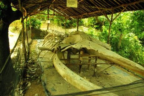 Fosil Ikan besar Joko Tuo